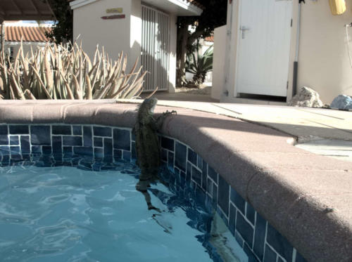 Iguana takes a swim