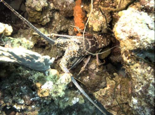 Klein Bonaire - Lobster