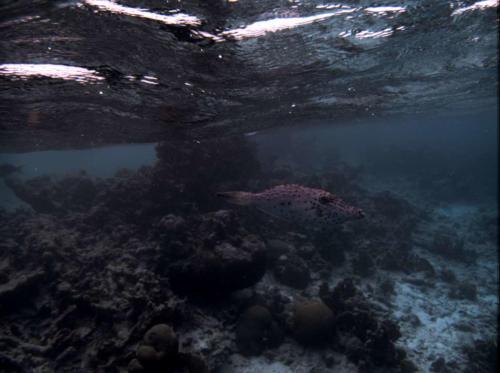 KleinBonaire-Filefish