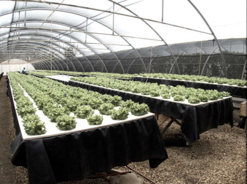 Hydroponic salads are grown in Krusada