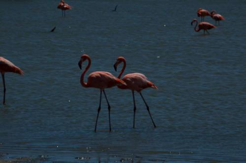LacCai-Flamingo
