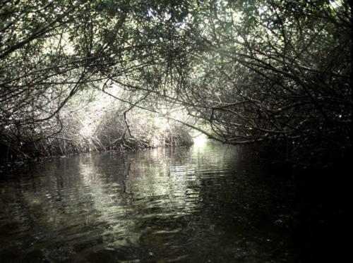 Mangrove_31