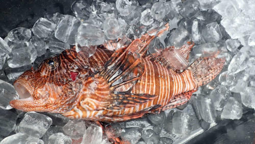 Lionfish hunt